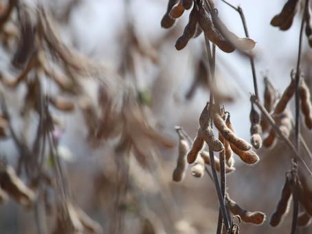 Chuva intensa castiga lavouras de soja do Paraná