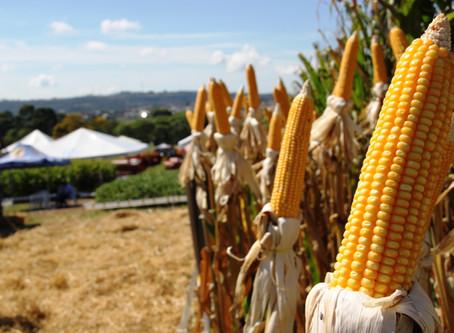 La Niña deve favorecer a segunda safra brasileira de milho