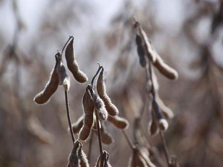 Safra 2016/2017: Soja terá 18,3 milhões de toneladas; primeira safra de milho foi projetada em 4,25