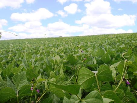 FEIJÃO: Paraná deve colher 595 mil toneladas entre as três safras plantadas no ano agrícola 2015/201