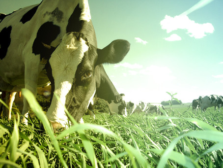 INS 76 E 77: Produtor que não cumprir com normas terá leite descartado