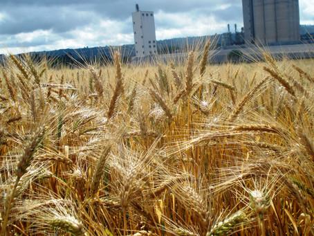 Paraná colheu 15% da área de milho e plantou 90% do trigo