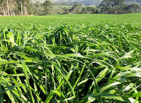CHOVEU, hora de turbinar o crescimento do pasto com Nitrogênio e aproveitar ao máximo o azevém
