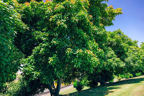 avo_tree.jpg