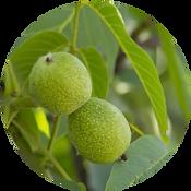walnut_1.png