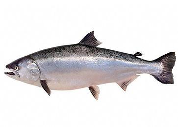 nz_king_salmon.jpg