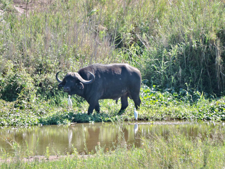 The Day a Buffalo Chased My Mom and Ellies in the Veggie Garden