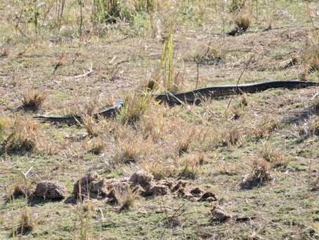 30 Minutes at Home: A Lioness, a Python and a Leopard!