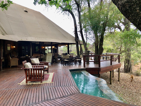 Hamiltons Tented Camp: When Lions and Wild Dogs Visit