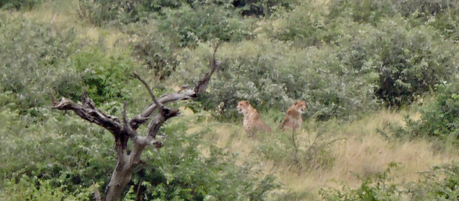 Lockdown Isn't So Bad When Three Cheetahs Visit