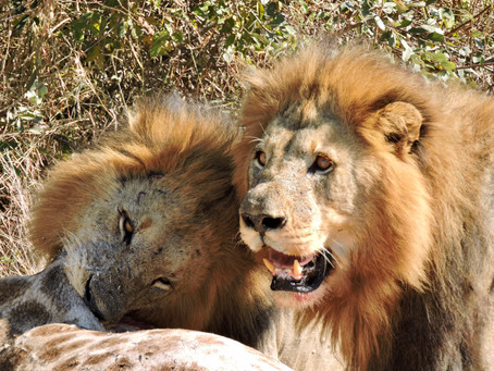 Today in Kruger Paradise: Surrounded by Lions