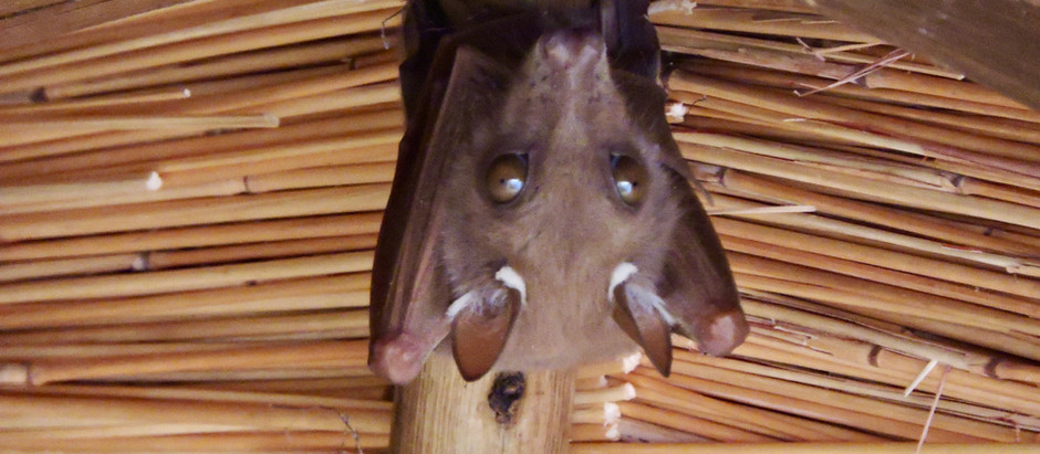 Bats in my Bedroom! Again!
