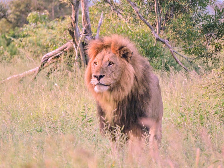 Lions on the Lawn and Other Anecdotes