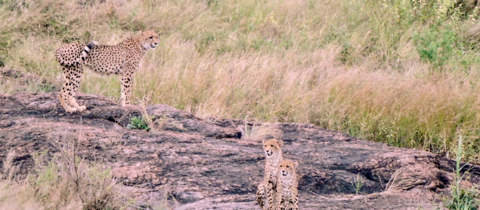 Friday Lockdown Visitors: An Afternoon With a Cheetah Mom & Her Cubs
