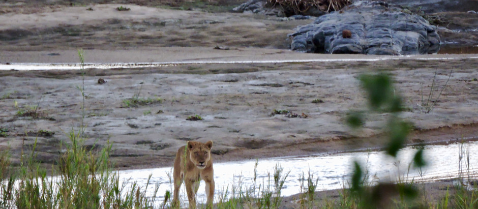 Lions and the Notorious Crocodile Bridge