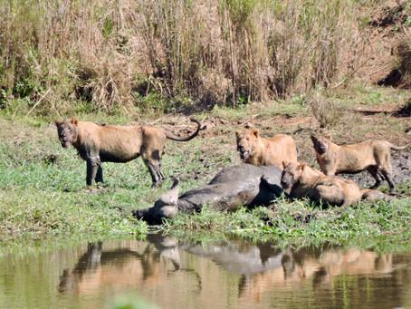 Living Amongst Lions
