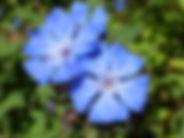 Claudia Torres NaturopatheRoussillon fleurs de Bach
