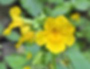 Claudia Torres naturopathe Roussillon Fleurs de Bach