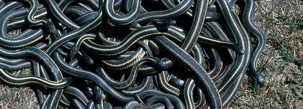 """Red Sided Garter Snake """"Snake Dance"""""""