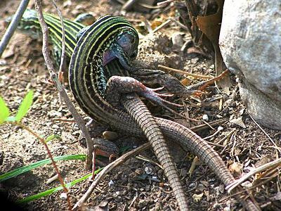 Whip Tail Lizard dry humping