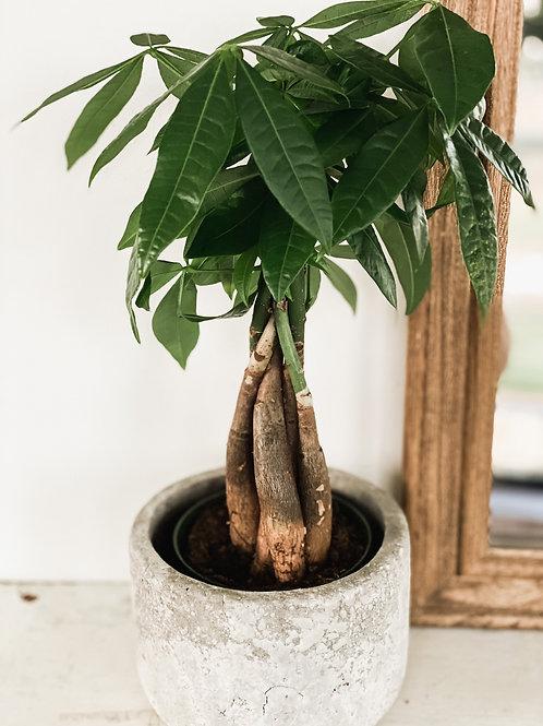Money Tree 4''