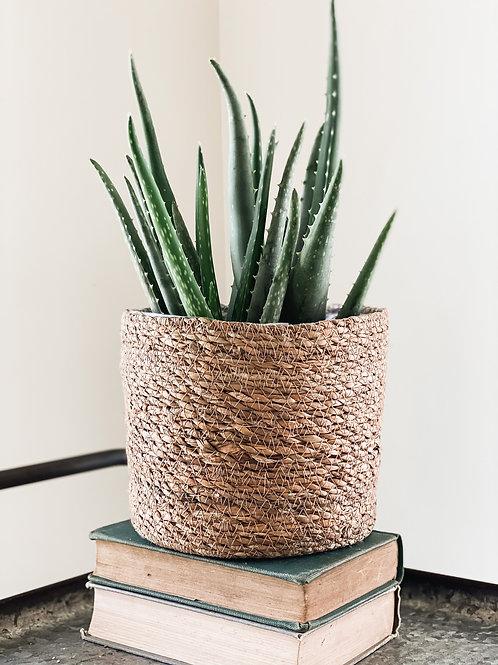 6'' Aloe Vera Plant #1