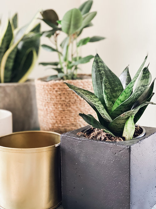 4'' Snake Plant- #4