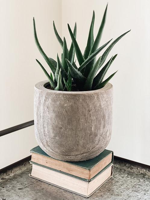 6'' Aloe Vera Plant #2