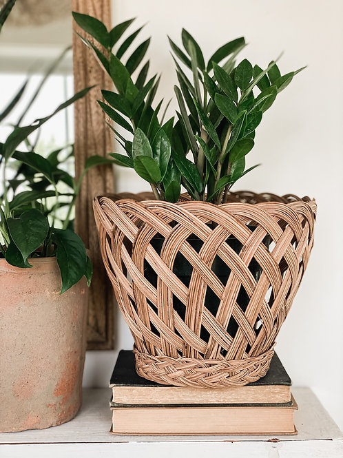 ZZ Plant 6''