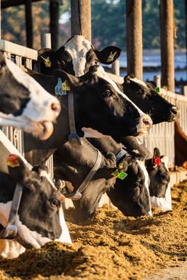 Unsere Kühe am Futtertisch