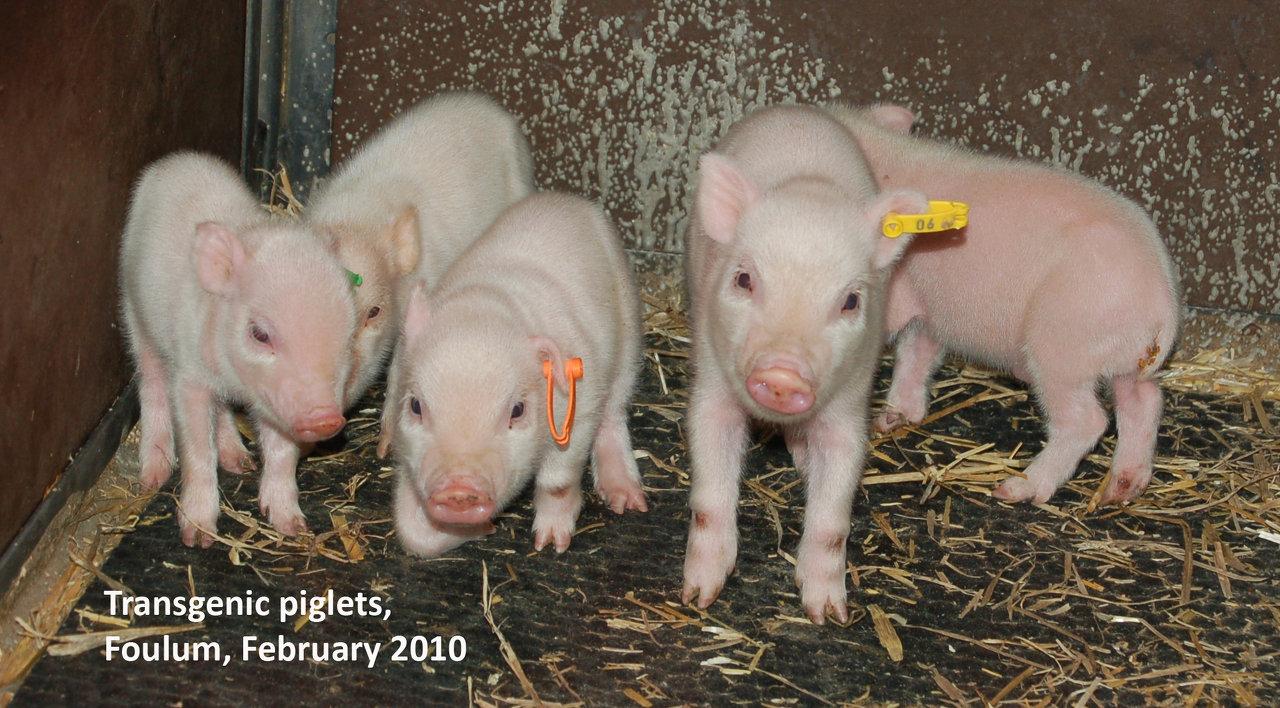 Transgenic piglets I.jpg