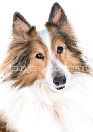 Scottish Collie Molly Peanut