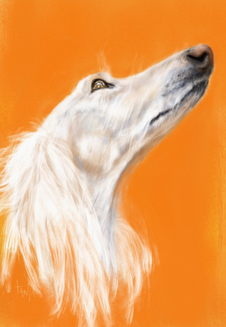 The only way is up! White Saluki