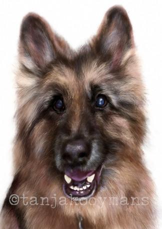 German Shepherd Cheveyo