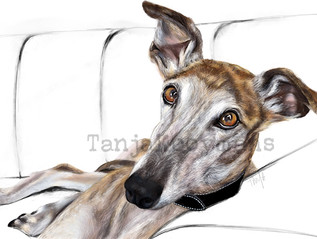 Galgo / Greyhound Dio on couch
