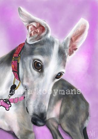 Trolley - blue brindle Greyhound