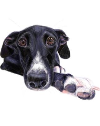Pearl - Black Greyhound