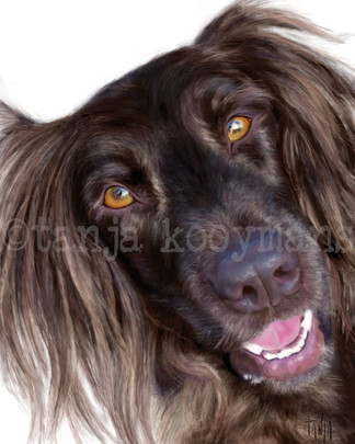 German longhaired Pointer Bente