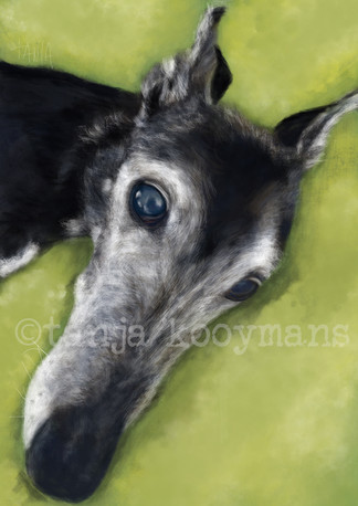 Dog portrait of Black Greyhound Allie