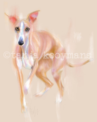 Whippet full body portrait