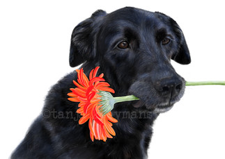Labrador mix Josie