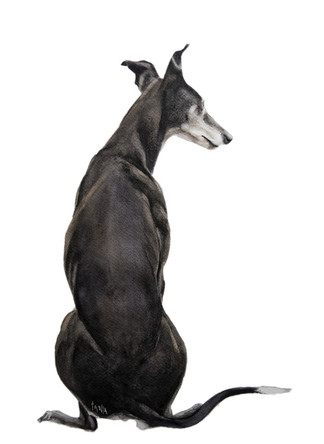 Gazing around - black Greyhound