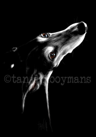 Portrait of a black Galgo / Greyhound