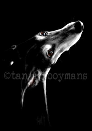Portrait of a black Galgo / Greyhound