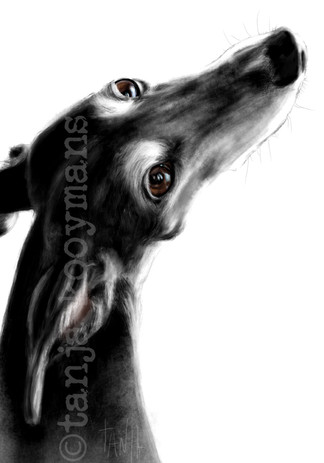 Portrait of a Galga Espanol