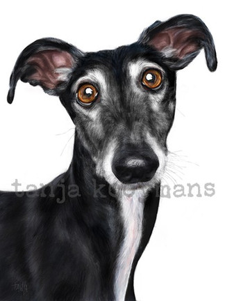 Brien, Black Galgo - Greyhound