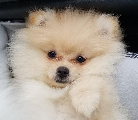Father Pomeranian