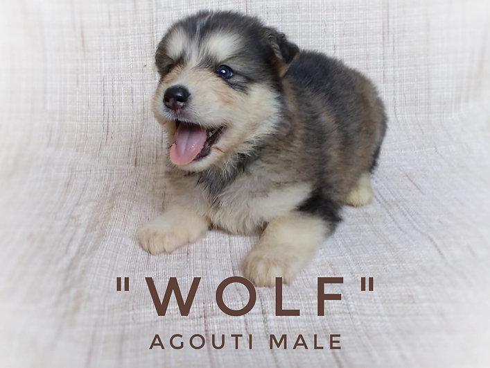 Husky Malamute Male