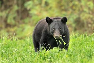 Black bear damage frustrates farmers