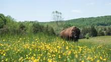 Bison farmers tap into a niche market, preserve American tradition